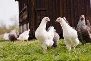 Control of animal disease - Avian